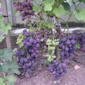 Sfinks vynuogė