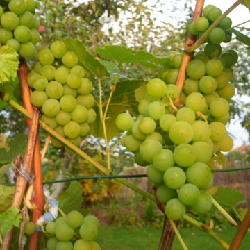 Varduva vynuogė