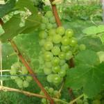 Sukribe vynuogė