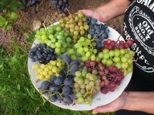 Naudingos vynuogės