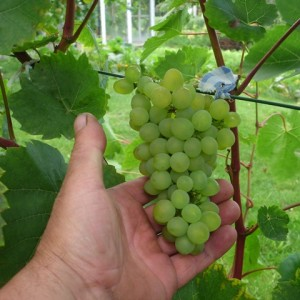 Iza zaliwska vynuogė