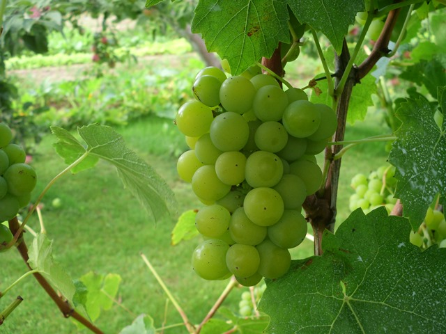 Selė vynuogė