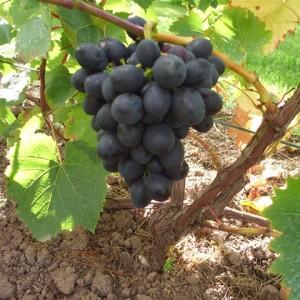 Nero vynuogė
