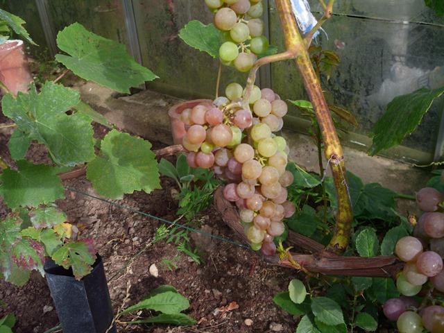 Aida vynuogė