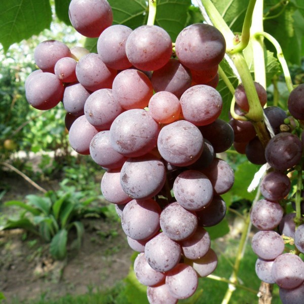 Stella vynuogė