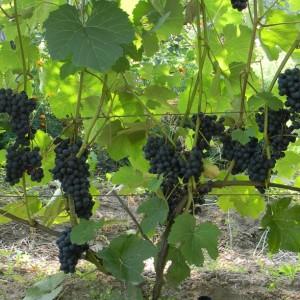 Juodupė vynuogė