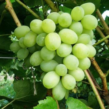 Juvendana vynuogė