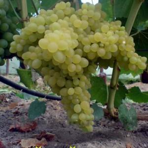 Hibridas 342 vynuogė