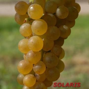Solaris vynuogė