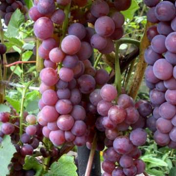 Svenson Red vynuogė