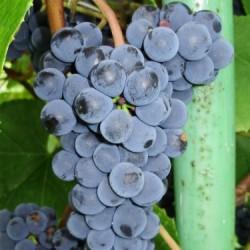 Zilga vynuogė