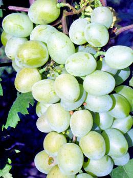 Galachad vynuogė