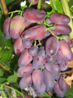 Krasotka vynuogė