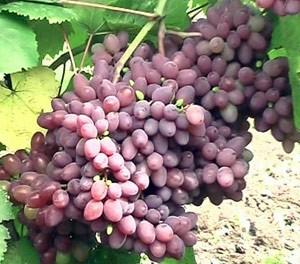 Kiš miš Zaporožskyj vynuogė