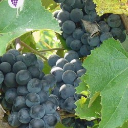 Concord vynuogė
